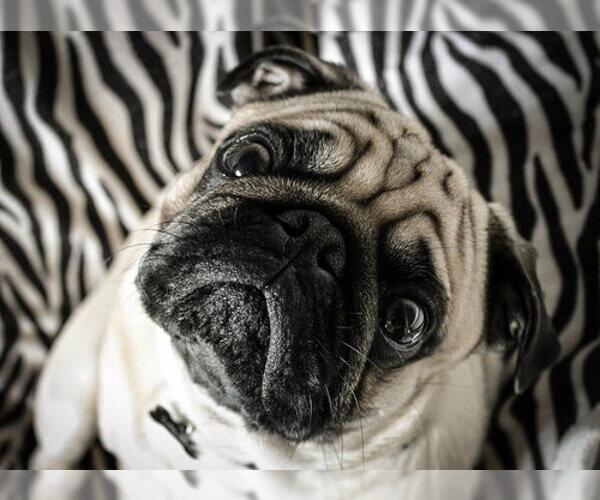 Medium Photo #10 Pug Dog Breed
