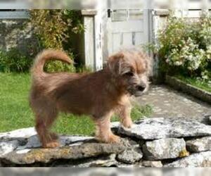 Small #3 Breed Norfolk Terrier image