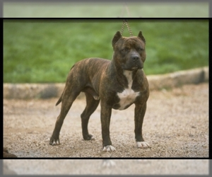 Image of breed American Staffordshire Terrier