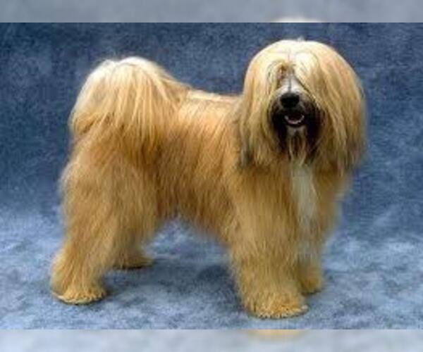 Medium Photo #2 Tibetan Terrier Dog Breed