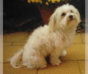 Small #4 Breed Maltese image