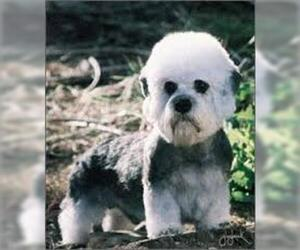 Small Photo #2 Dandie Dinmont Terrier Dog Breed