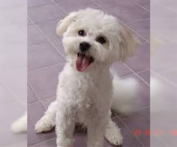 Image of Shih-Mo Breed