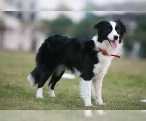Small #1 Breed Border Collie image