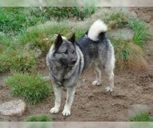 Small #2 Breed Norwegian Elkhound image