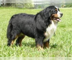 Small #4 Breed Bernese Mountain Dog image