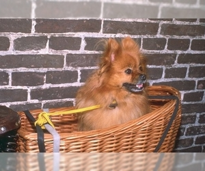 Small Photo #1 Pomeranian Dog Breed