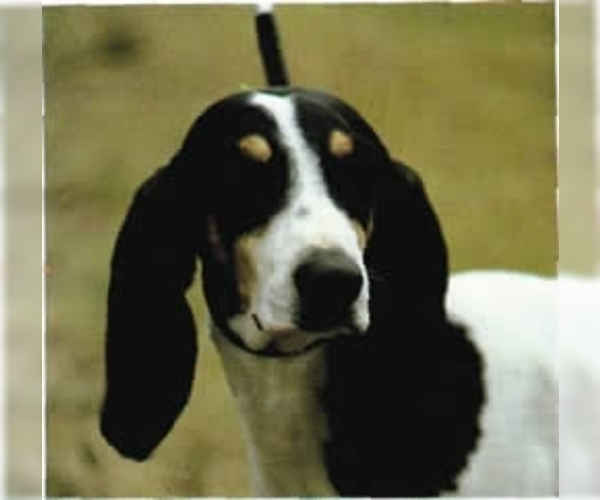 Image of Ariegeois Breed