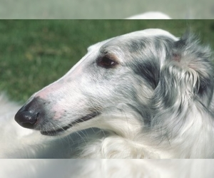 Image of Borzoi breed