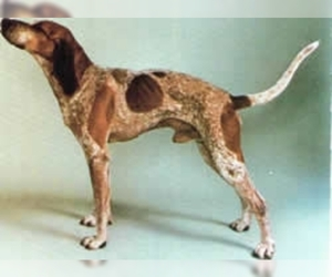 Image of English Coonhound breed