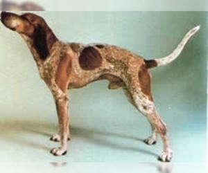 English Coonhound