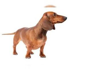 Small #6 Breed Dachshund image