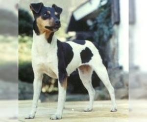 Terrier Brasileiro(Brazillian Terrier )