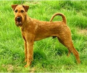 Small #8 Breed Irish Terrier image
