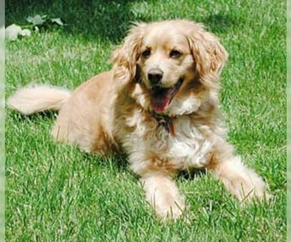Image of Golden Cocker Retriever Breed