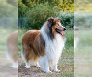 Small #4 Breed Collie image