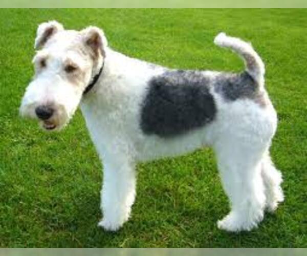 Medium Photo #6 Wire Fox Terrier Dog Breed