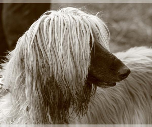 Medium Photo #15 Afghan Hound Dog Breed