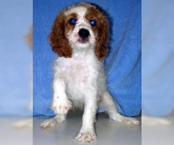 Image of Cavapoo Breed