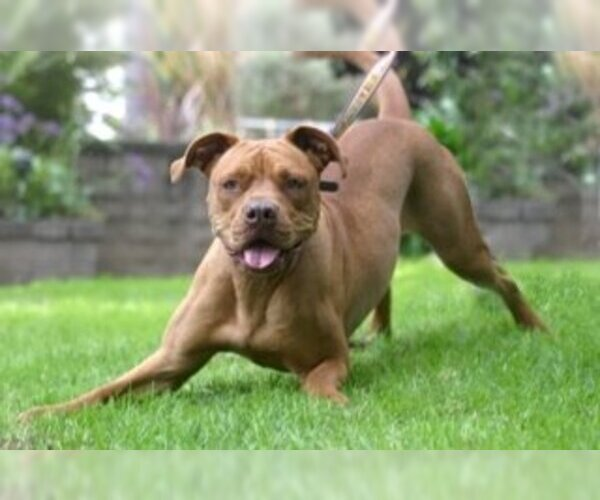 Image of American Bull Dogue De Bordeaux Breed