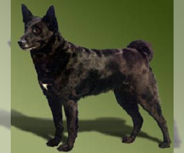 Image of Black Norwegian Elkhound Breed