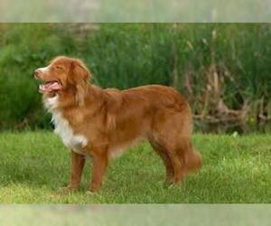 Small #2 Breed Nova Scotia Duck Tolling Retriever image