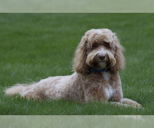 Small #2 Breed Labradoodle image