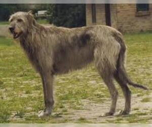 Small #5 Breed Irish Wolfhound image