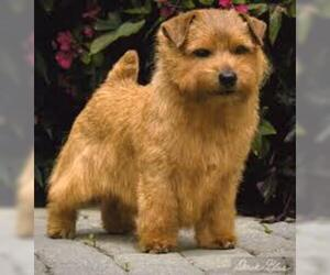 Small #6 Breed Norfolk Terrier image