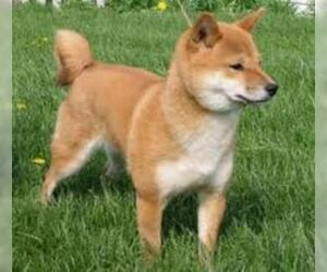 Small #1 Breed Shiba Inu image