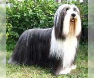 Small #4 Breed Bearded Collie image
