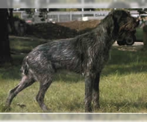 Image of German Broken-coated Pointer Breed