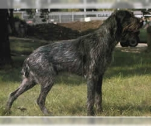 German Broken-coated Pointer