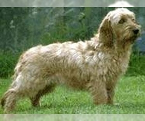 Image of Medium Griffon Vend'en Breed
