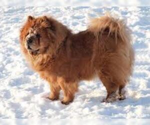 Small #1 Breed Chow Chow image
