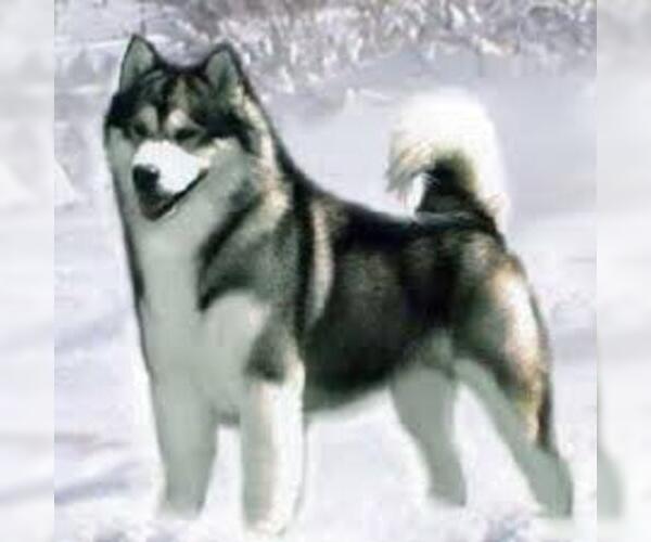 509682409a9c6aea_AlaskanMalamute3.jpg