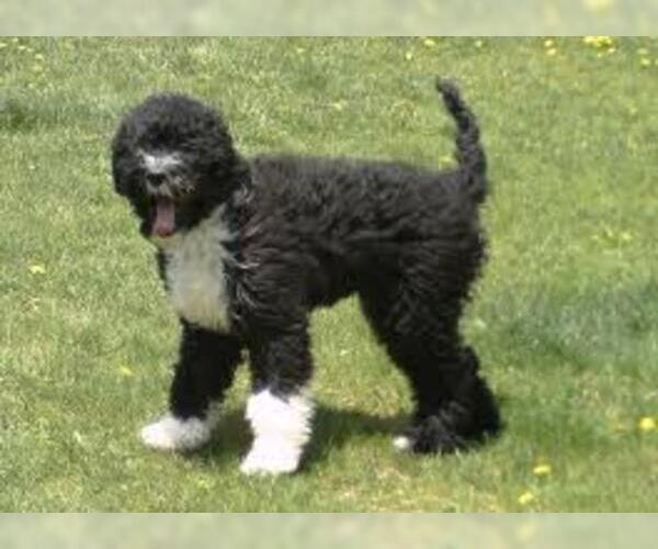 Medium Photo #5 Portuguese Water Dog Dog Breed