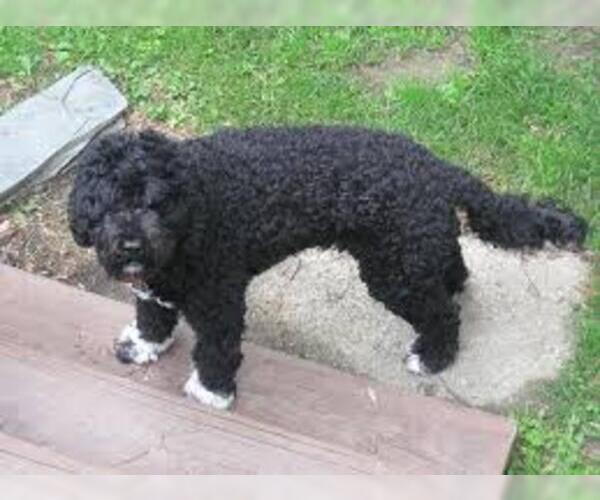 Medium Photo #2 Portuguese Water Dog Dog Breed