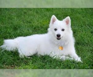 Small #2 Breed American Eskimo Dog image