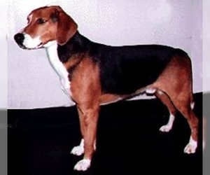 Image of Hamilton Hound breed