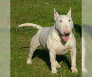 Small #2 Breed Bull Terrier image