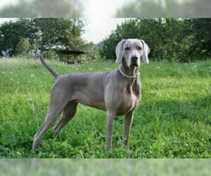 Small #1 Breed Weimaraner image