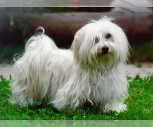 Small #1 Breed Havanese image