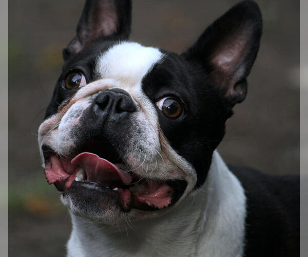 Boston Terrier Breed Information And Pictures On