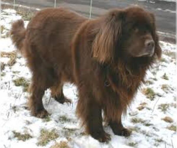 Medium Photo #5 Newfoundland Dog Breed