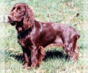 Small #4 Breed Field Spaniel image