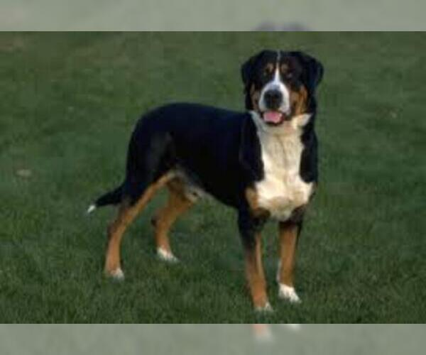 Medium Photo #7 Greater Swiss Mountain Dog Dog Breed
