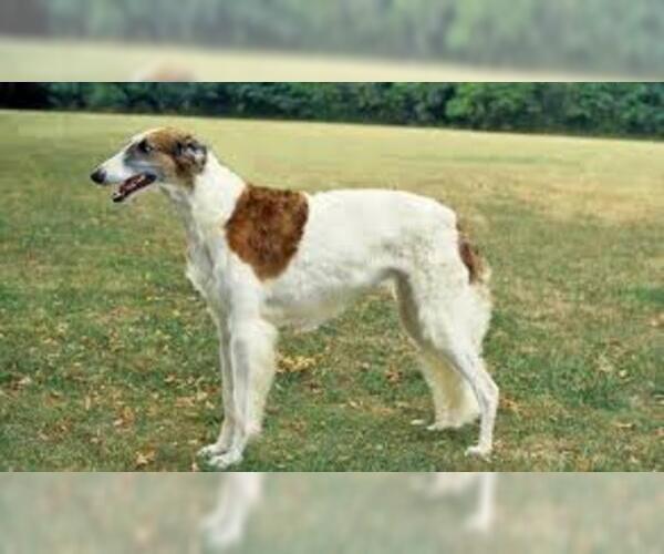 Medium Photo #6 Borzoi Dog Breed