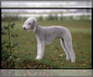 Samll image of Bedlington Terrier
