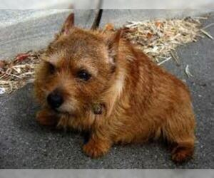 Small #3 Breed Norwich Terrier image